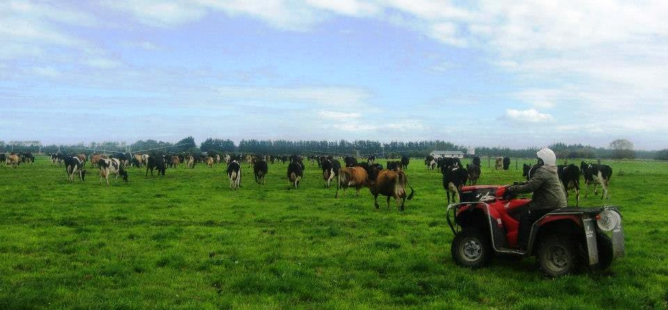 Rounding up cattle looks like an easy task on a good weather.