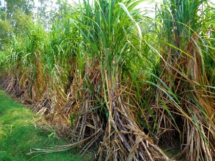 sugarcane plantation Dumarao Capiz
